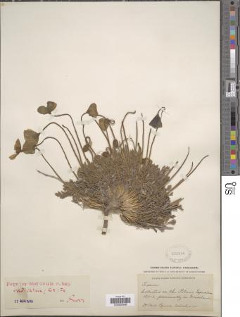Plant specimen with a large root secured onto paper.