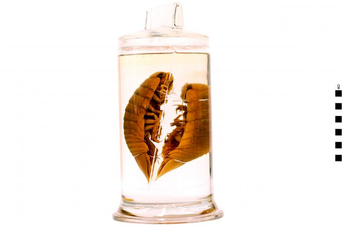 Two pill bugs floating in a small jar.