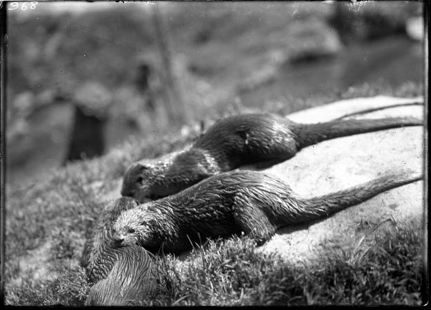 Two wet otter on a rock.