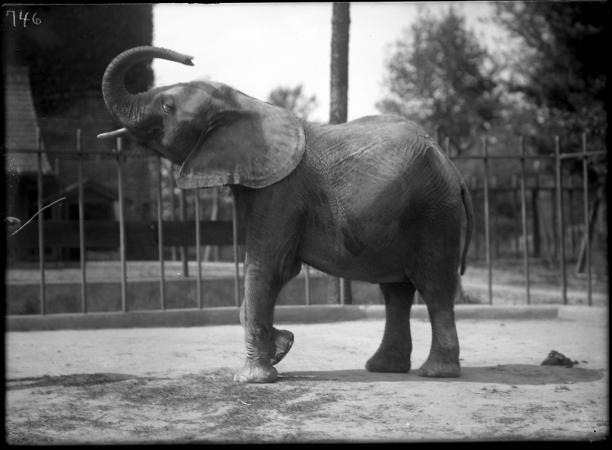 An elephant lifts its trunk in the air.