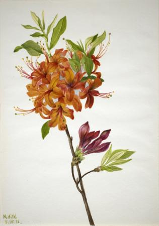 Single stem of orange azalea flowers, with a few unopened buds and greenery from leaves.
