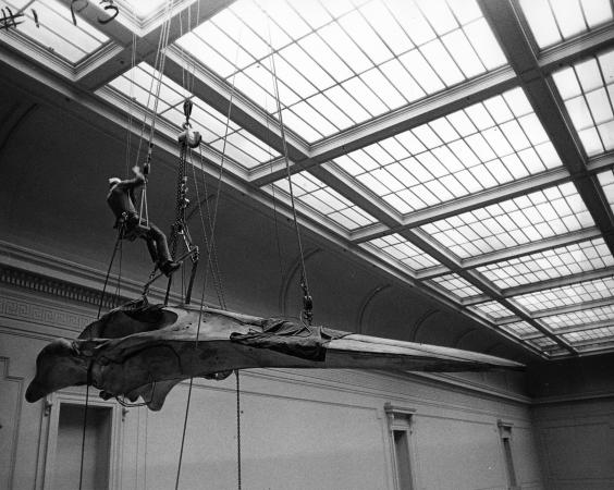 A workman is suspended from a ceiling with rigging as he is installing a huge blue whale skull.