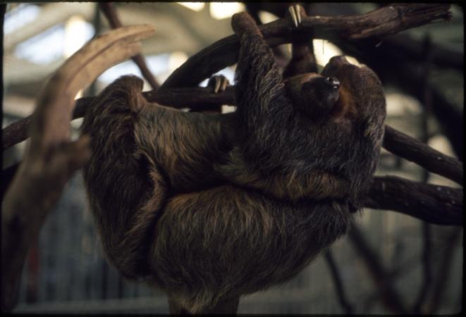 Mother and baby two-toed sloths hanging from a branch within a Zoo enclosure.