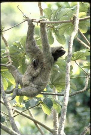 Color image of three-toed mother sloth hanging from multiple tree branches with a baby sloth hanging