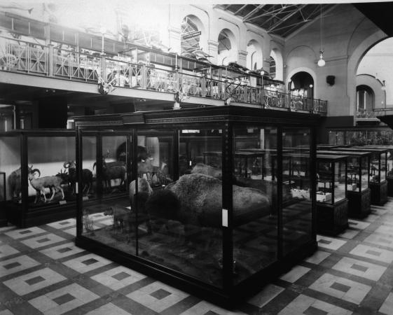 Interior of the Arts and Industries Building, Bison are mounted in the closest exhibit case in a roo