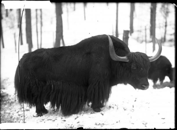 Yak with long fur stands in the snow. It is facing the camera.