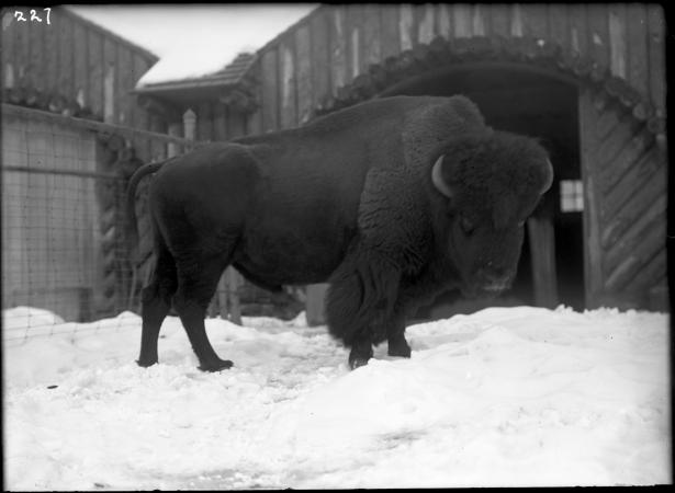 An American bison stands in the snow. It looks toward the camera.