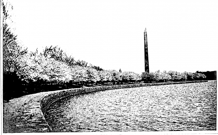 Scene of the cherry blossom trees with the Washington Monument in the background.