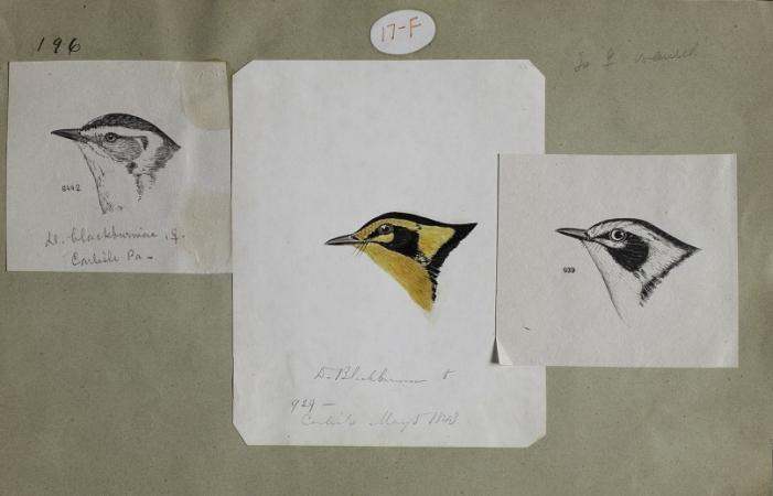 Drawing of the head of a Blackburnian warbler. Two black-and-white sketches and one colored-in drawi