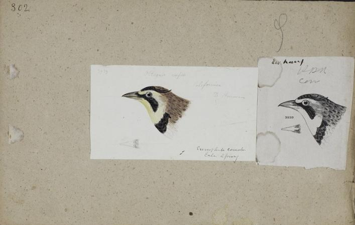 Drawing of the head of a horned lark. Colorful sketch of a bird head next to a sketch of the same he