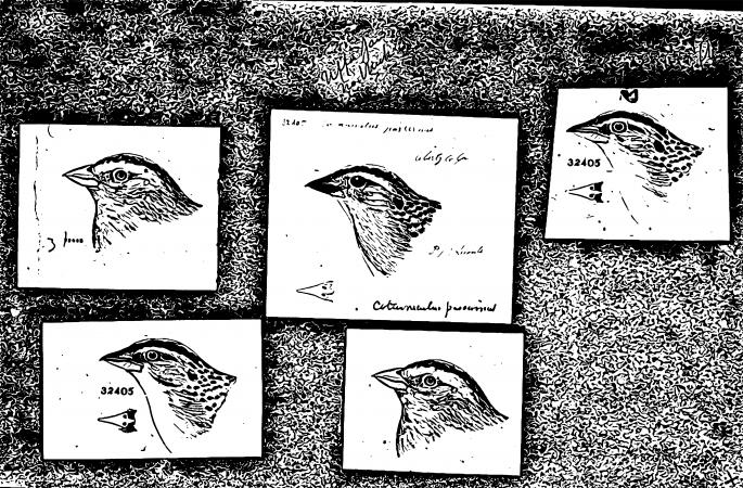 Five sketches of bird heads.