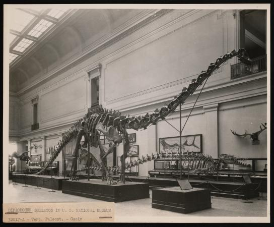 Diplodocus on display among other mammals on display.