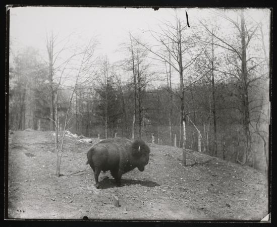 An American bison pictured in a field with tall, thin trees in the background.