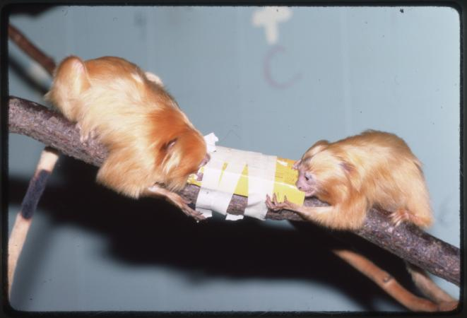 Image of two small, orange monkeys on a branch.