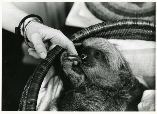 Black and white photograph of a baby two-toed sloth in a basket holding the finger of its caretaker.