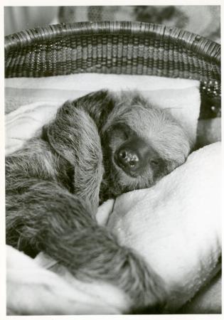 A sloth sleeps in a basket.