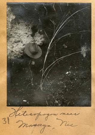 Heteropogon near Masaya, Nicaragua. Mary Agnes Chase Photograph Album 1898-1903.