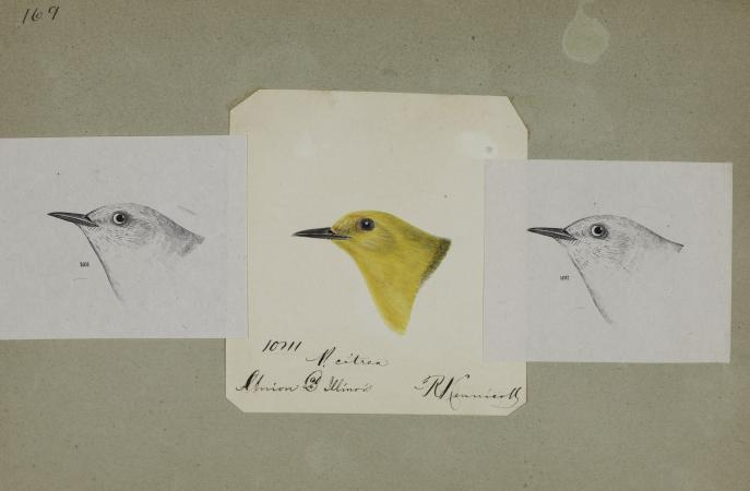 Three bird head drawing sketches. The one in the center is in yellow and it's a bright color.
