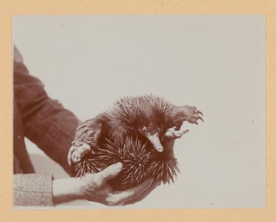 A person holds up a small echidna.