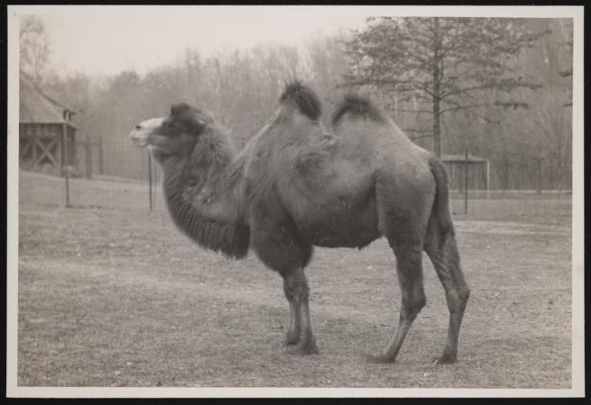A Bactrian camel stands in a field. The photograph captures a profile of the camel.