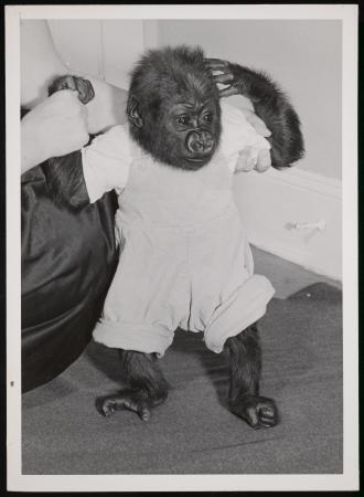 "Infant gorilla ""Tomoka"" while fostered at home of Bernard F. Gallagher, supervisory keeper for great"