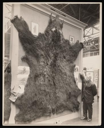 Bear skin on exhibit at the Panama-Pacific International Exposition, San Francisco, California, 1915