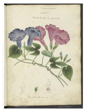 Image of plants with long green stems, which include leaves, and purple and pink flowers. The illust