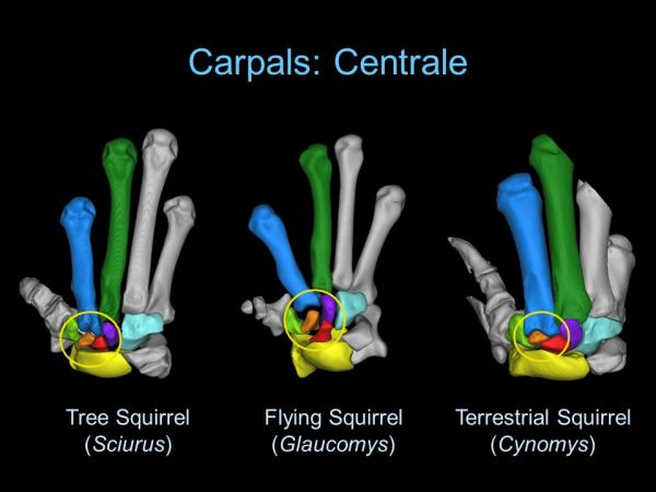 "Image of labeled squirrel hand bones. They were created digitally. The image is labeled ""Carpals: Ce"