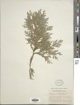 A pressed light green branch from a Northern White Cedar is taped to a white paper.