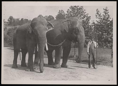 A man holding a long staff leads two large elephants that are chained together.