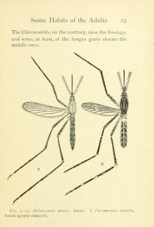Illustration of two mosquito bugs from Mosquito Life by Evelyn Mitchell.