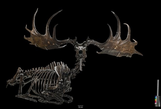 Image of a deer-like animal skeleton with large horns with a black backdrop.