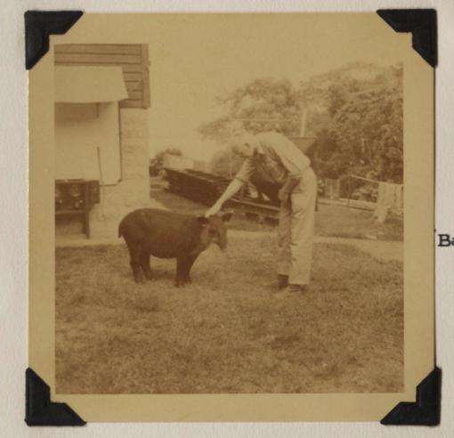Alexander Wetmore and a tapir, Panama, 1951.