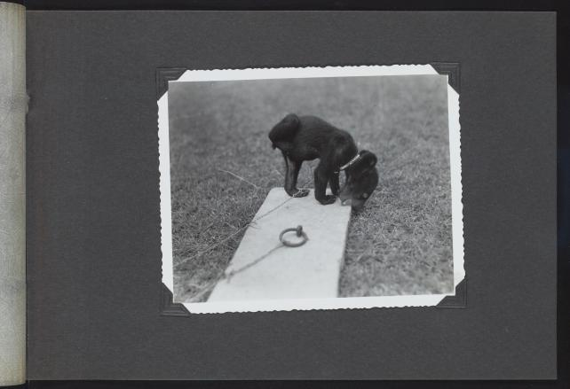 A photo of a bear cub, taken on the National Geographic Society-Smithsonian Institution Expedition to the Dutch East Indies, 1937.
