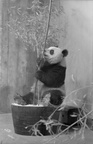Giant panda at the National Zoo.