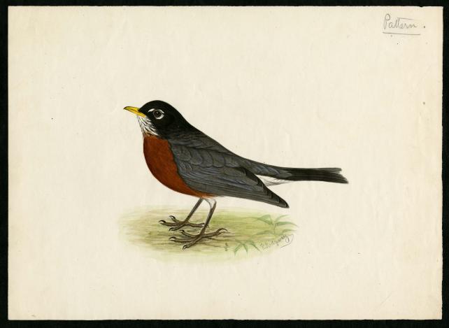 Robert Ridgway drawing of a robin, Record Unit 7167 - Robert Ridgway Papers, circa 1850s-1919, Smith